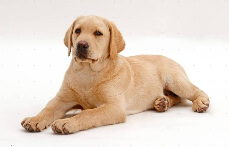 Adorable Golden Adult Labrador Retriever Dog Sitting On Floor