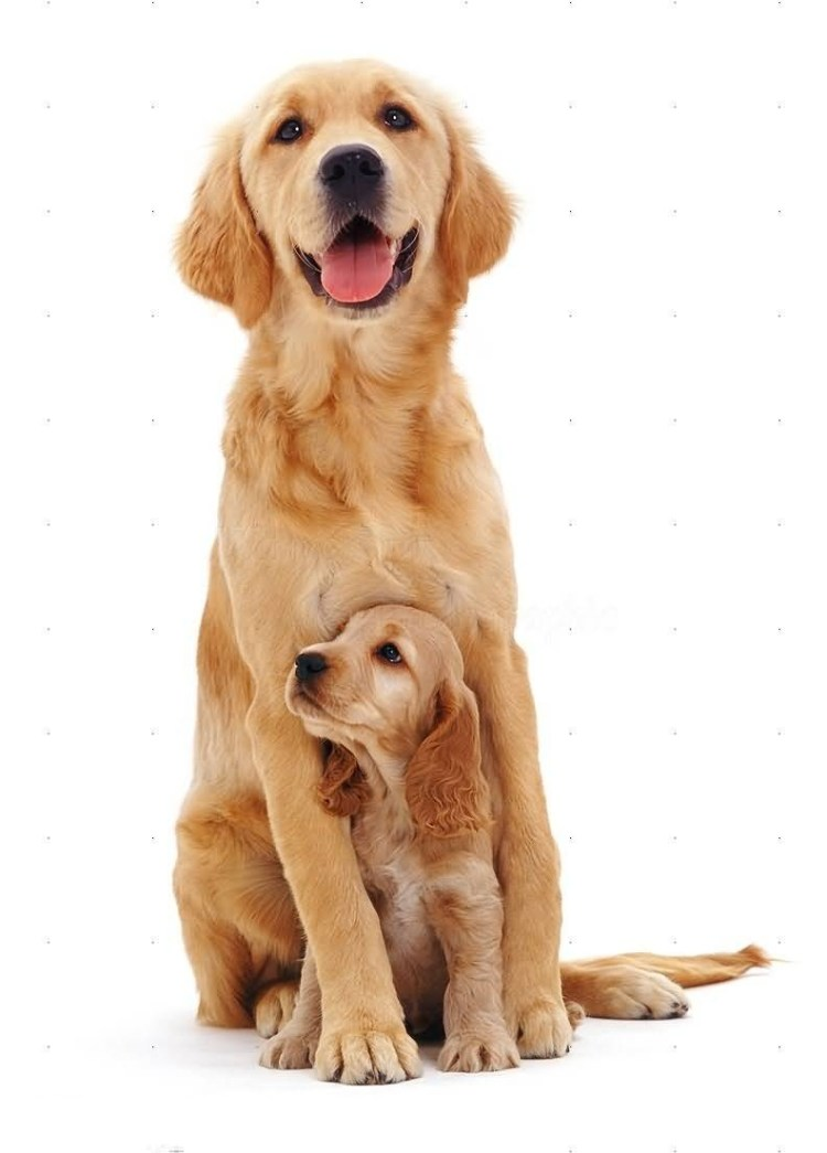 Adorable Golden Retriever Mother Dog With White Background