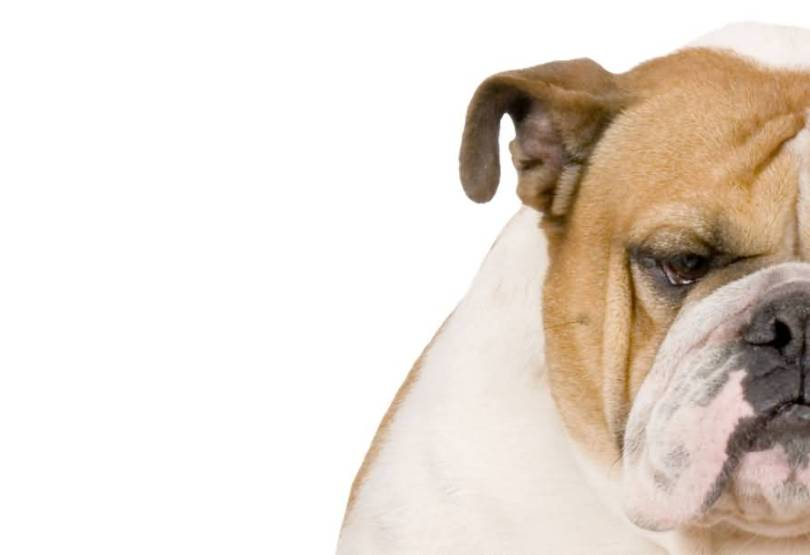 Adorable Half Face Brown Bulldog With White Background