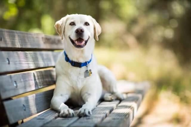 Adorable White Labrador Retriever Dog With Beautiful Background