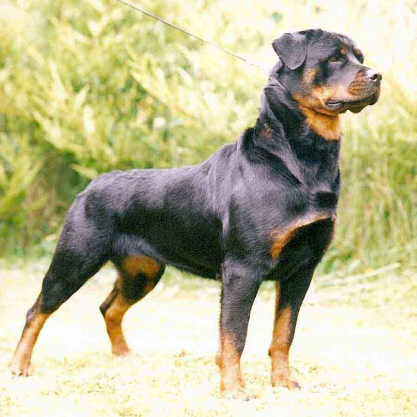 Amazing Male Rottweiler Dog In Park