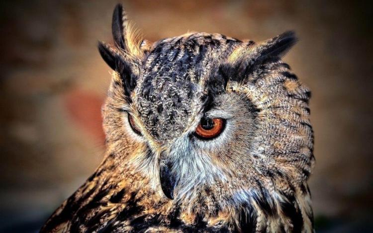 Amazing Owl Wallpaper Hd