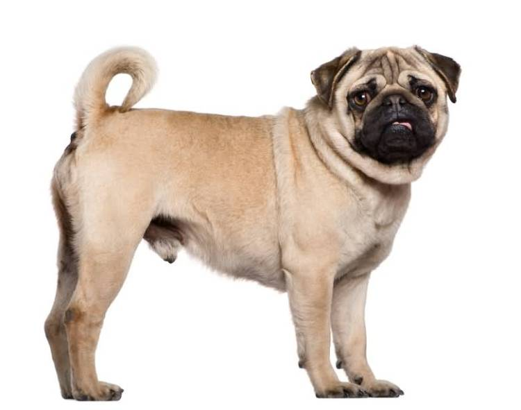 Amazing Pug Dog Puppy With Small Tail For Wallpaper