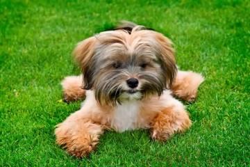 Amazing  Shih Tzu Dog In Park