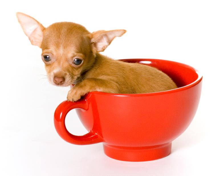 Amazing Tiny Chihuahua Dog In Red Teacup With White Background