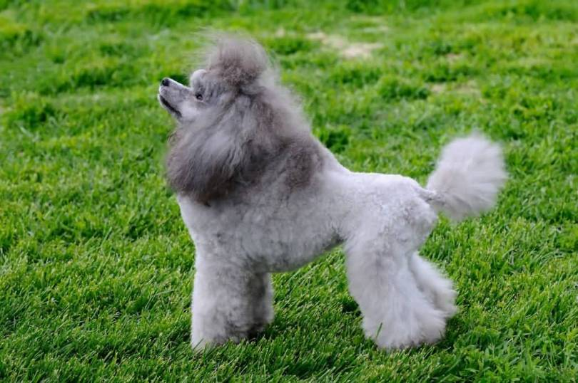 Attractive Grey Poodle Dog On Grass