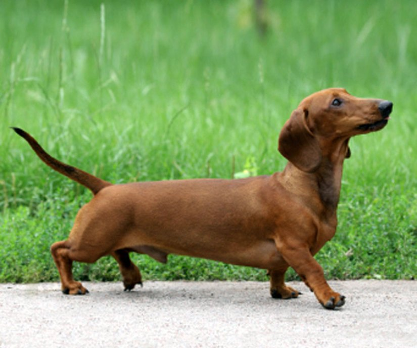 Attractive Long Dachshund Dog Walking On Road With Green Background
