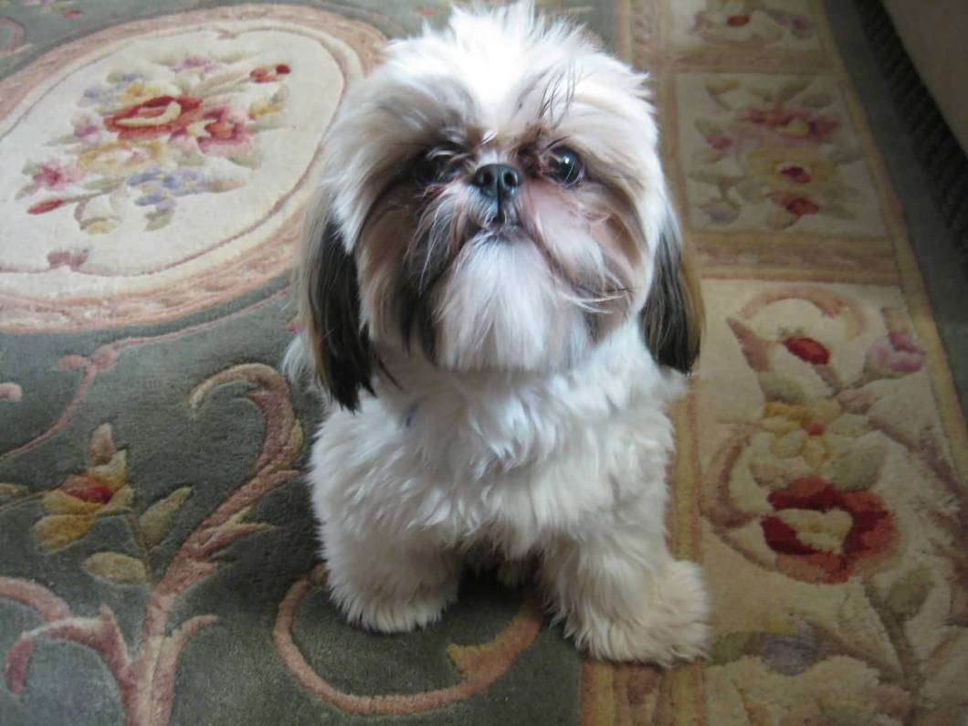 Attractive White Shih Tzu Dog Looking At You