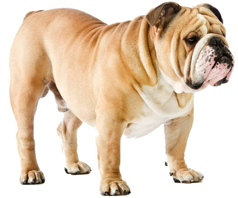 Awesome Brown Bulldog Standing On Floor