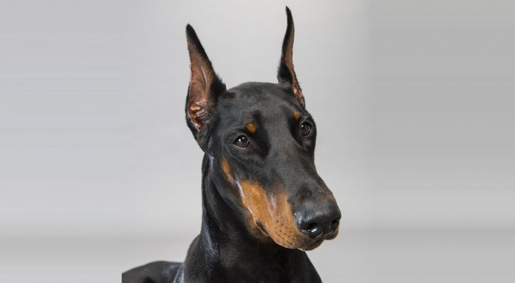 Awesome Doberman Pinscher Dog Face For Wallpaper