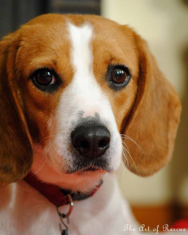 Awesome Face Of Beagle Dog Puppies