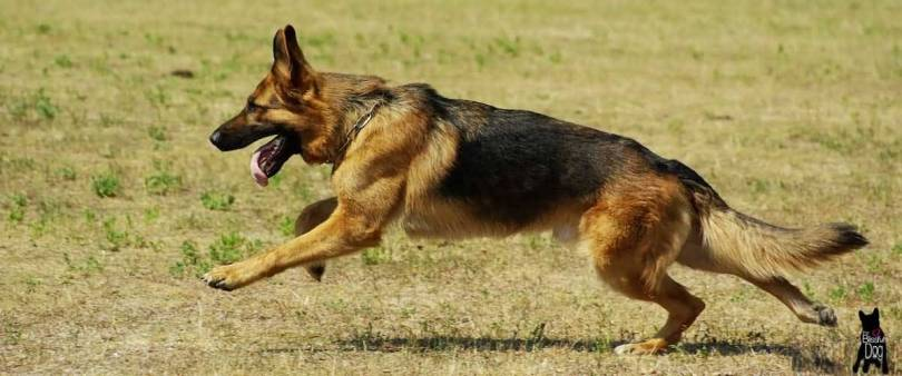 Awesome German Shepherd Dog Running In Park