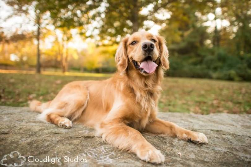 Awesome Golden Retriever Dog With Beautiful Background
