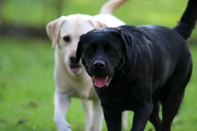Awesome Labrador Retriever Dog With Beautiful Background