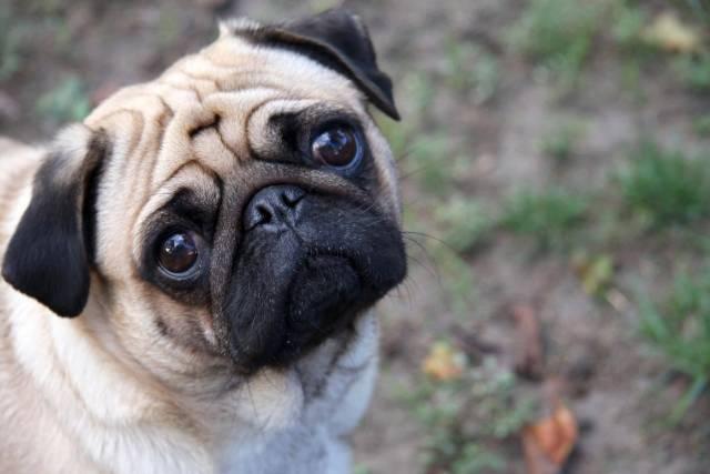 Awesome Pug Dog With Beautiful Background