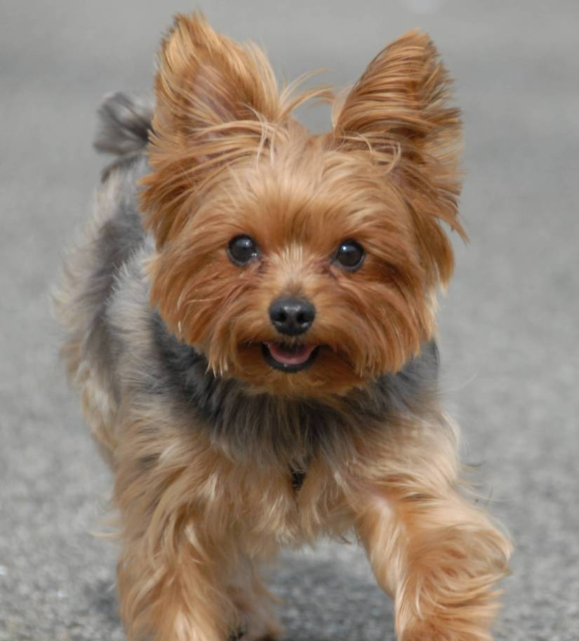 Awesome Yorkshire Terrier Dog With Beautiful Background