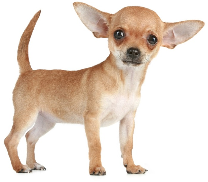 Beautiful Baby Chihuahua Dog Looking At You
