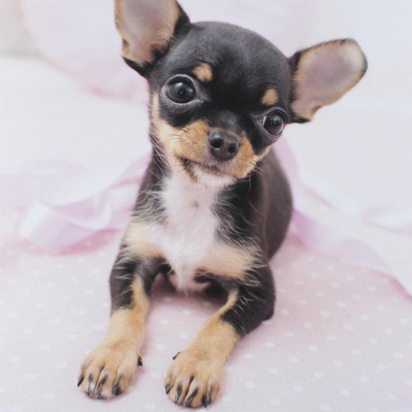 Beautiful Chihuahua Dog Sitting On Floor