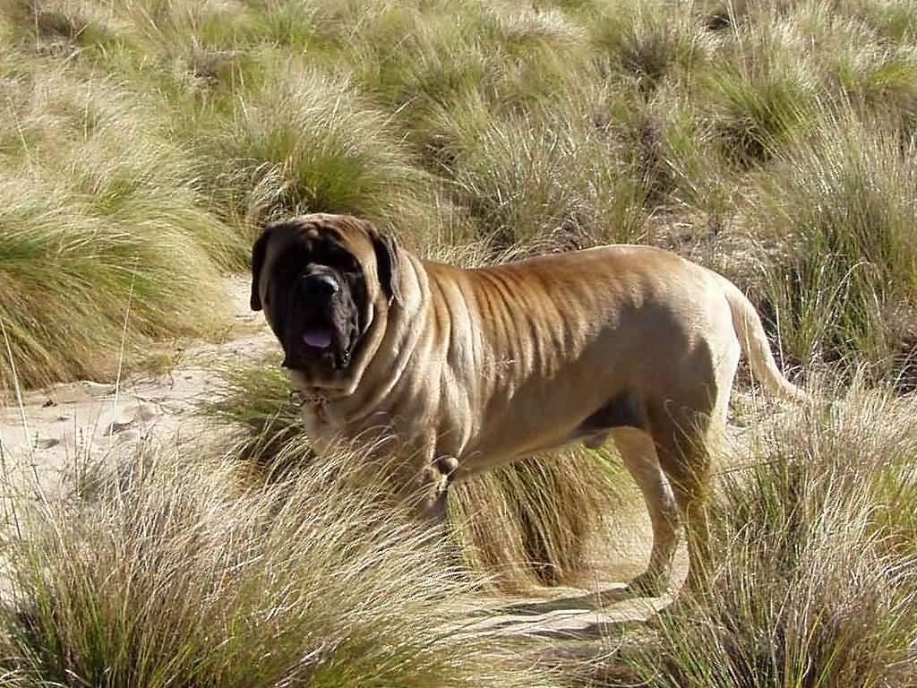 Beautiful English Mastiff Dog In Jungle