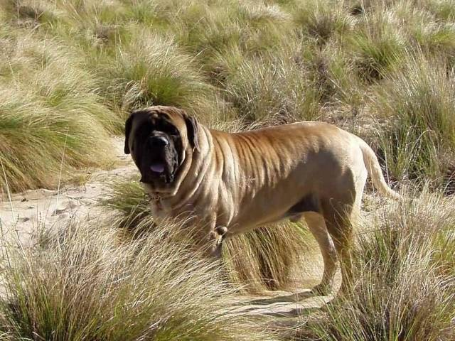 Beautiful English Mastiff Dog In Jungle