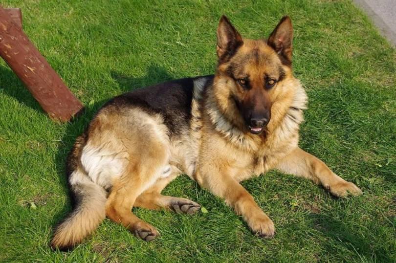 Beautiful German Shepherd Dog Sitting In Garden