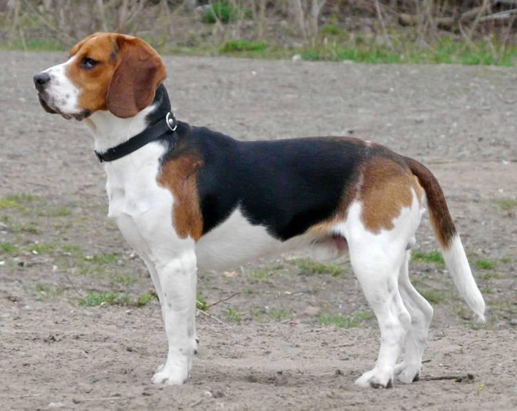 Beautiful Grown Beagle Dog Image For Wallpaper