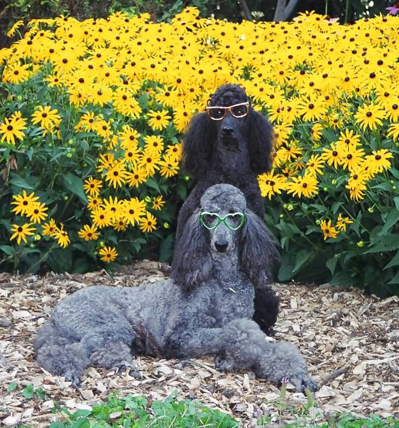 Beautiful Poodle Dog In Garden