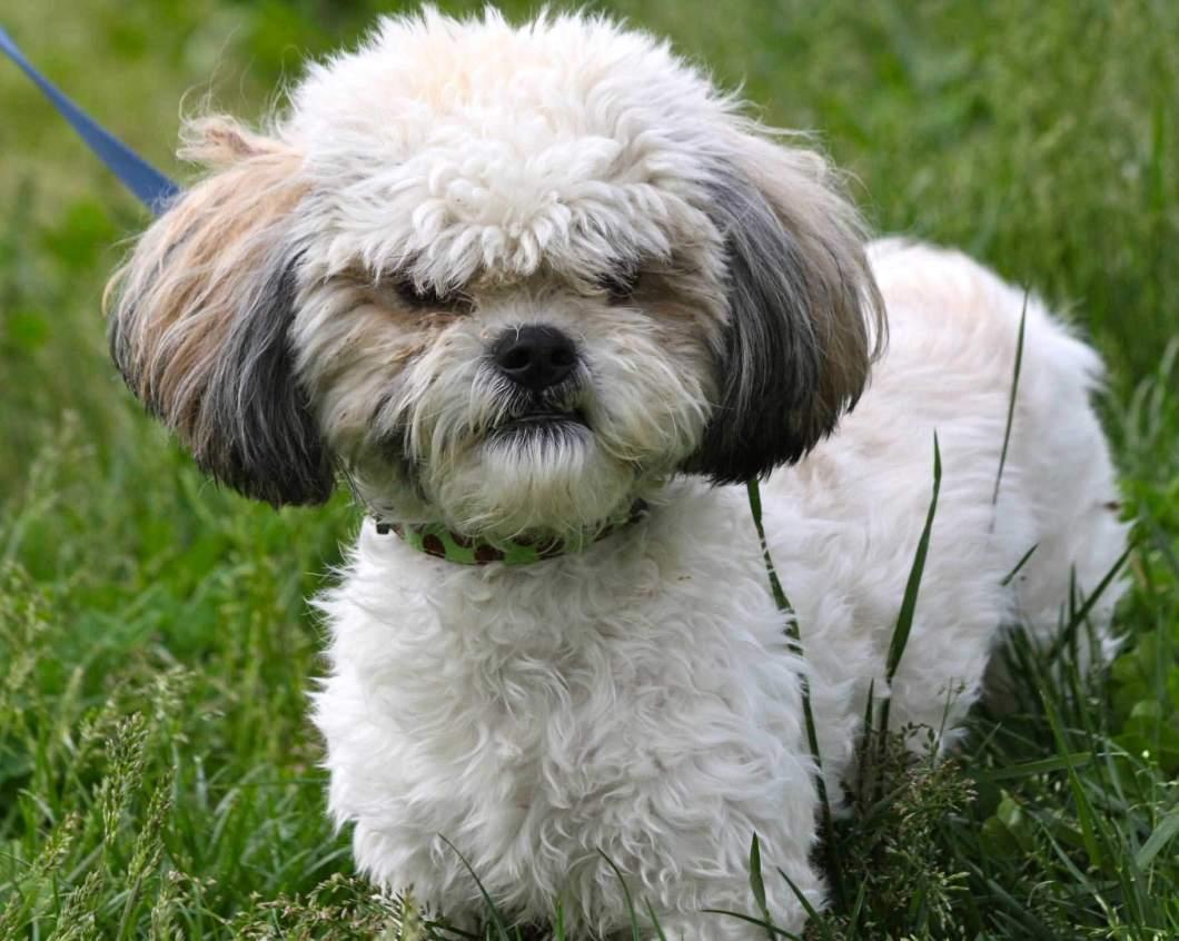Beautiful White Shih Tzu Dog Stand On Grass