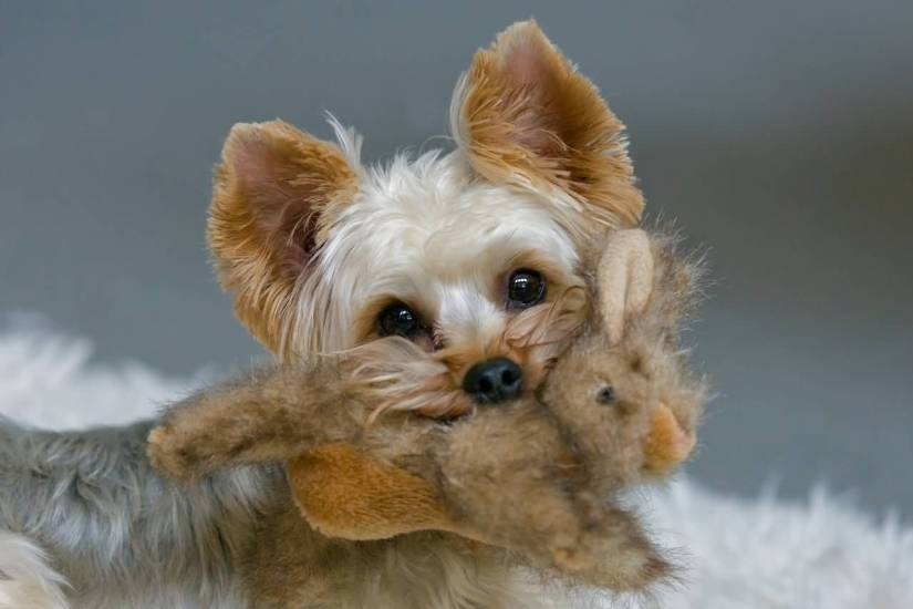 Beautiful Yorkshire Terrier Dog With Beautiful Background