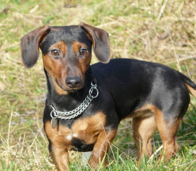 Brilliant Dachshund Dog With Silver Chain On Green Grass