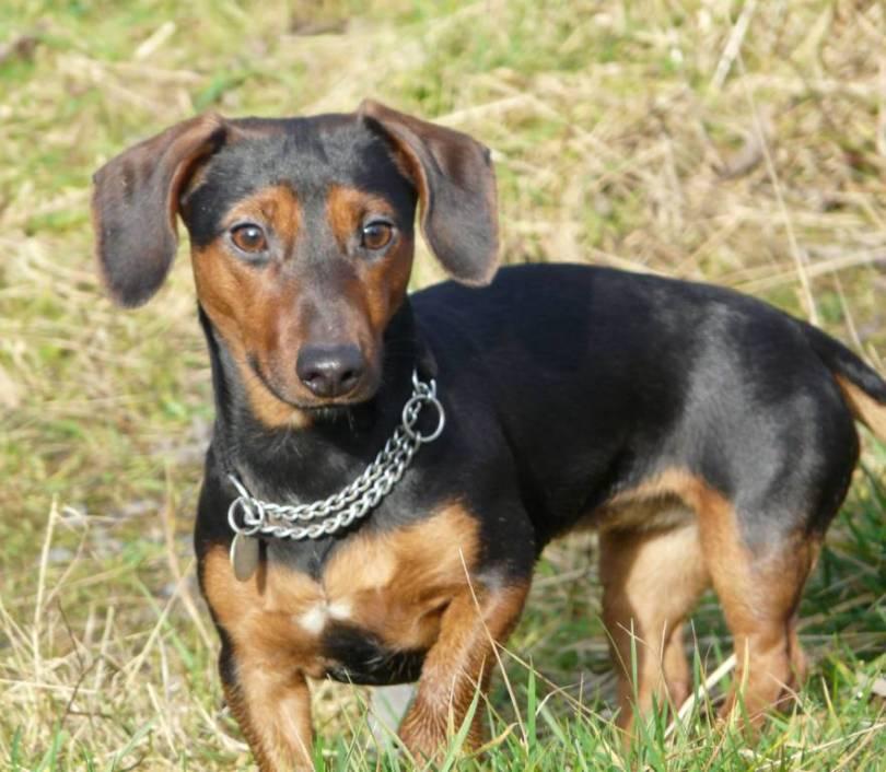 Brilliant Dachshund Dog With Silver Chain On Green Grass