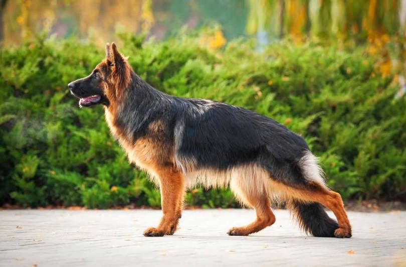 Brilliant German Shepherd Dog With Beautiful Background