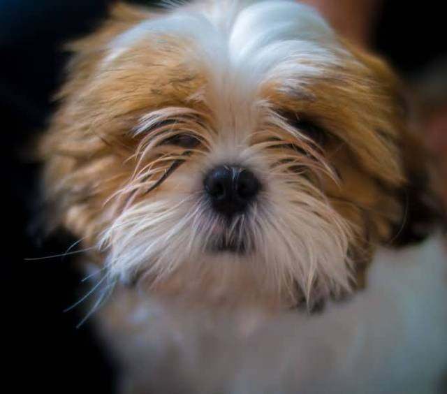 Brilliant Shih Tzu Dog With Beautiful Background