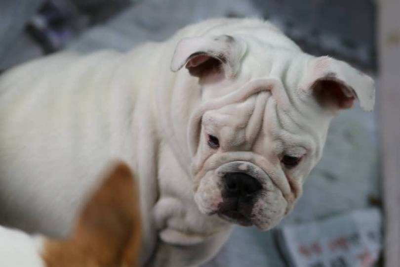 Brilliant White Bulldog Have Wrinkled Face With Beautiful Background