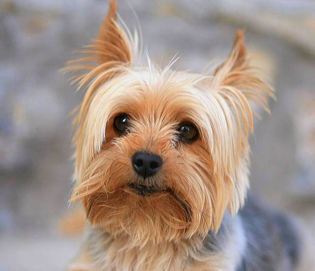 Brilliant Yorkshire Terrier Toy Dog Looking At You