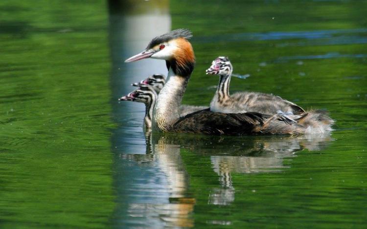 Bunch Of Cute Ducks Swimming
