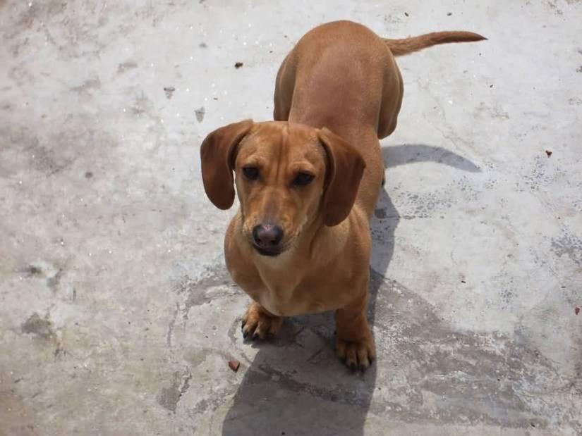 Charming Brown Dachshund Dog Watching At You