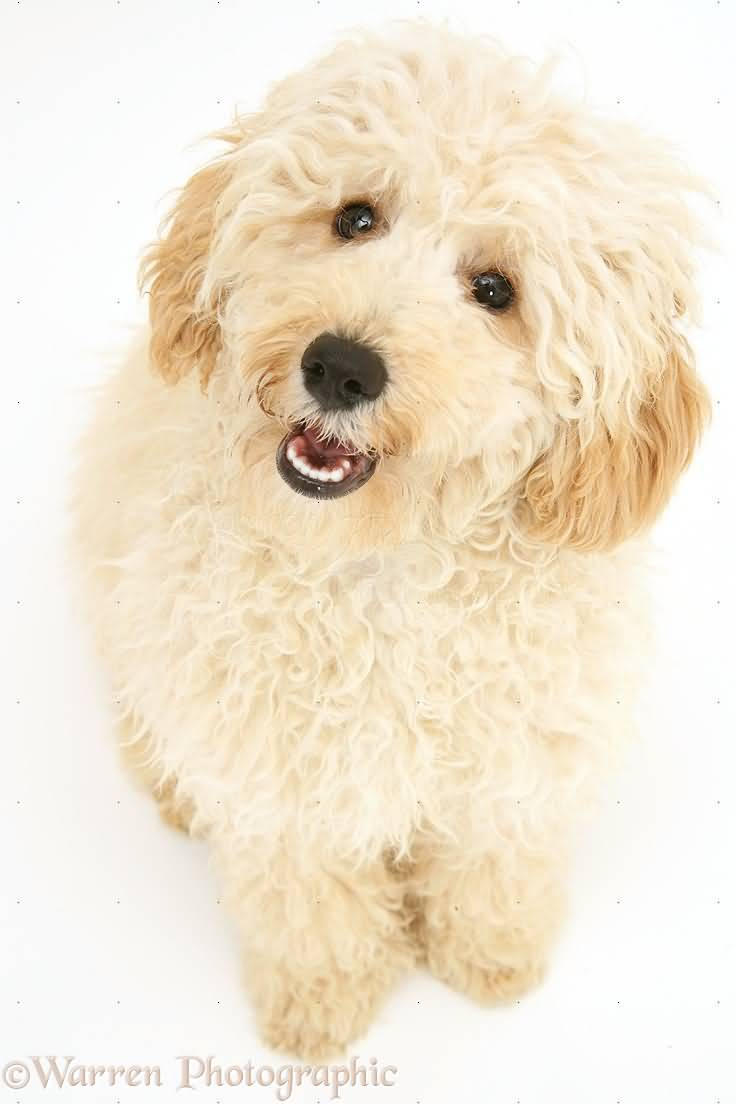 Charming Creamy Toy Poodle Dog With White Background