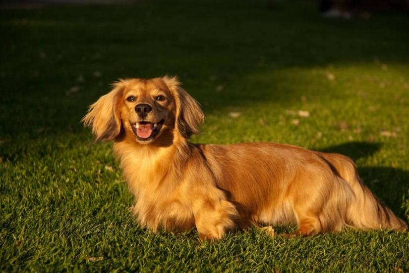 Charming Golden Retriever Dog On Grass With Beautiful Background