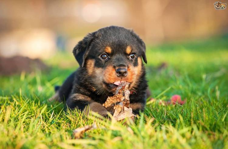 Charming Rottweiler Puppies Dog In Grass