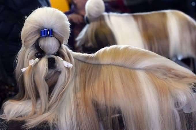 Charming Shih Tzu Dog Photo For Wallpaper