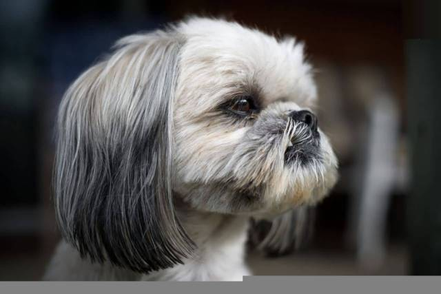 Charming Shih Tzu Dog With Beautiful Background