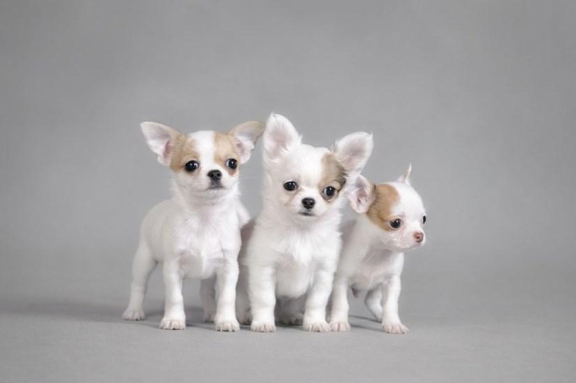 Charming Three White Chihuahua Dog Image With White Background