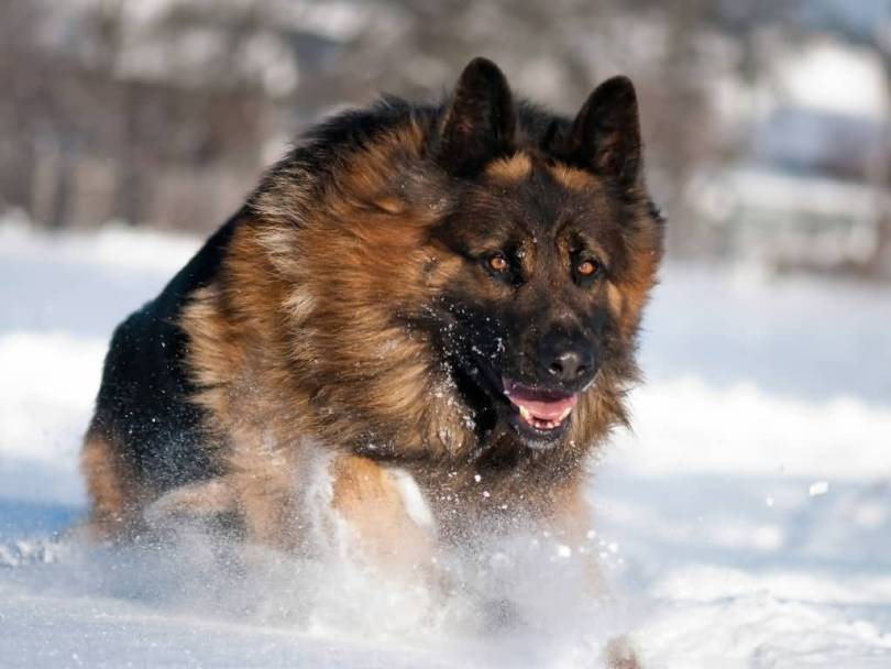 Cool German Shepherd Dog Running In Snow