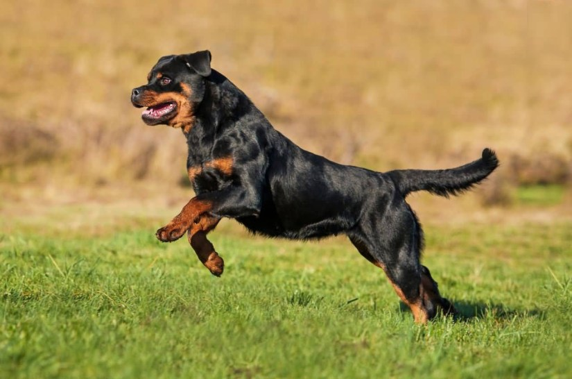 Cool Rottweiler Dog In Garden