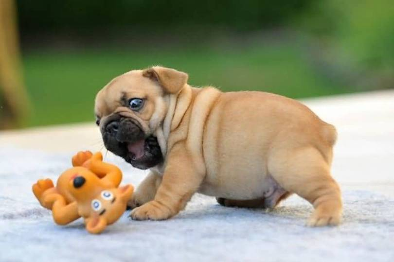Coolest Bulldog Baby Play With Monkey Toy With Green Background