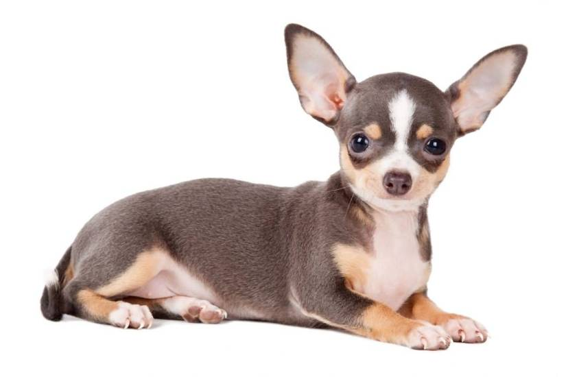 Coolest Chihuahua Dog Sitting On Floor