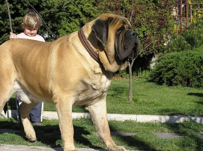 Coolest English Mastiff Dog Stand On Road