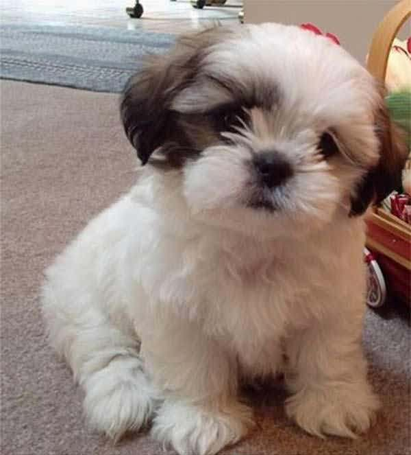 Coolest Shih Tzu Dog In House