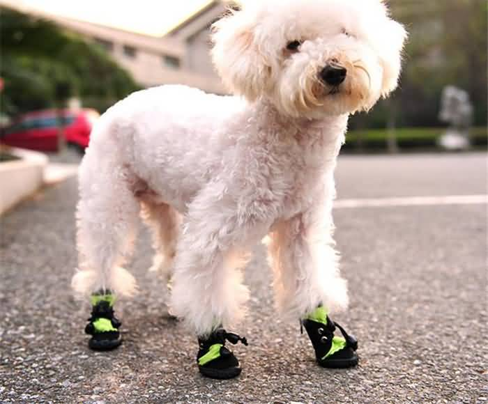 Coolest Toy Poodle Dog With Shoes On Road